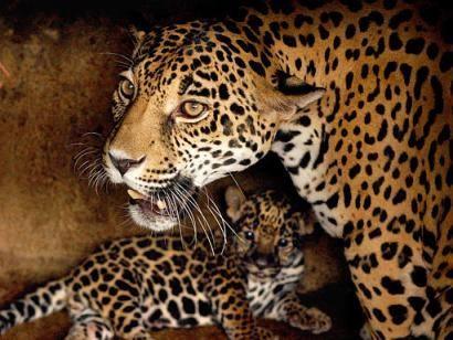 Bebes animaux page 5 - Bebe du jaguar ...
